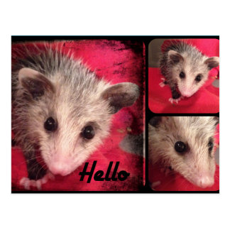 Adorable Oppossum Postcard. Postcard