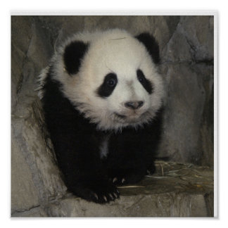 Adorable panda poster.