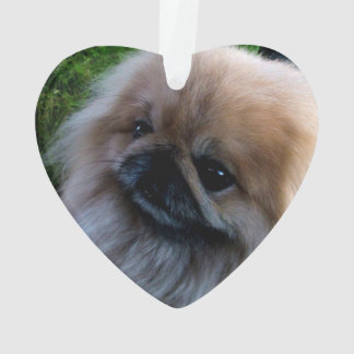 Adorable Pekingese Puppy