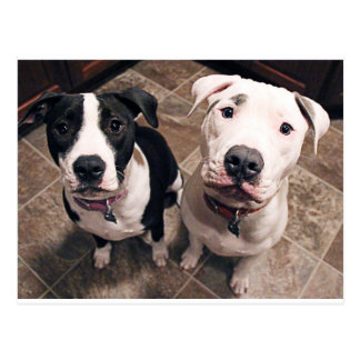 adorable pitbull puppies dogs postcard