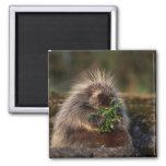 Adorable Porcupine Fridge Magnets