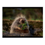 Adorable Porcupine Postcards
