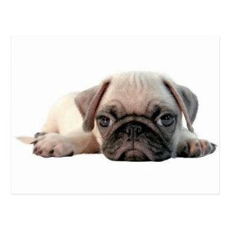 adorable pug puppy postcard
