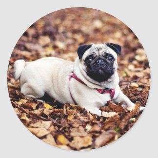Adorable Pug Rests On The Autumn Foliage Classic Round Sticker