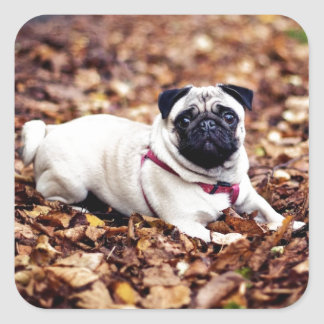 Adorable Pug Rests On The Autumn Foliage Square Sticker