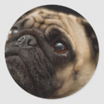 Adorable Pug Stickers