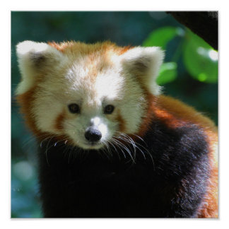 Adorable Red Panda Poster
