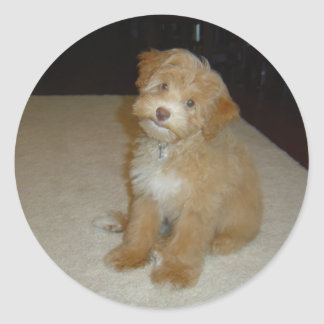 Adorable Schnoodle puppy Classic Round Sticker