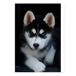 Adorable Siberian Husky Sled Dog Puppy Postcard