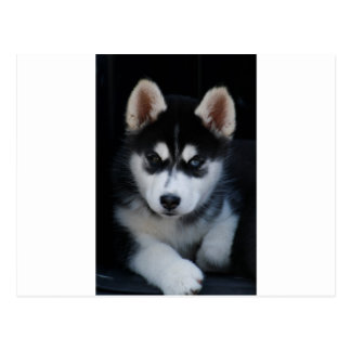 Adorable Siberian Husky Sled Dog Puppy Postcard