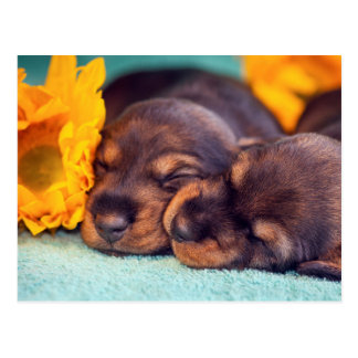 Adorable sleeping Doxen puppies Postcard