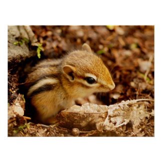 Adorable Teeny Baby Chipmunk Poster
