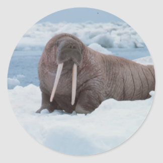 Adorable Walrus Classic Round Sticker