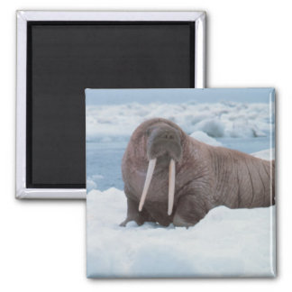 Adorable Walrus 2 Inch Square Magnet