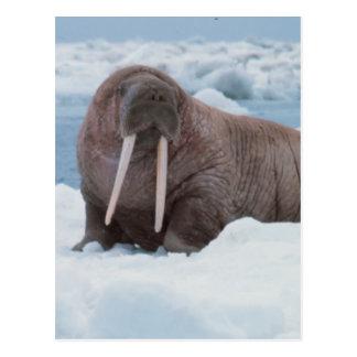 Adorable Walrus Postcard
