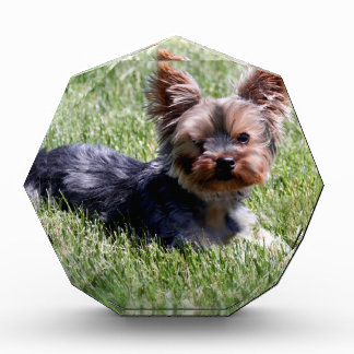 Adorable Yorkie Multiple Products Selected Acrylic Award