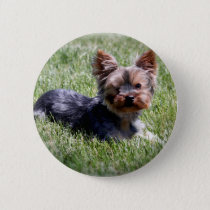 Adorable Yorkie Multiple Products Selected Pinback Button
