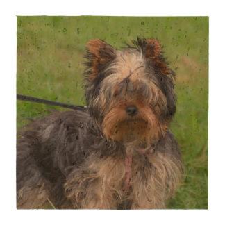 Adorable Yorkshire Terrier Drink Coaster
