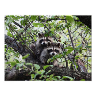 Adorable Young Raccoon Pair In Tree Poster