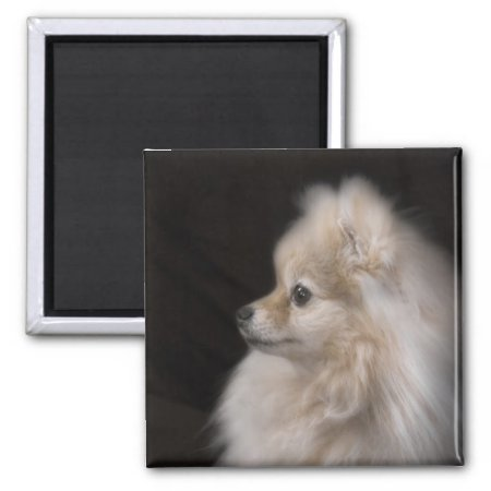 Adorably Cute Posing Pomeranian Puppy 2 Inch Square Magnet