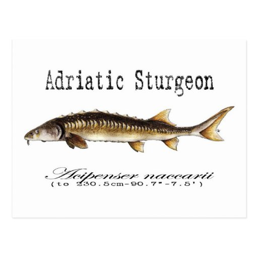 Adriatic Sturgeon Item Postcard