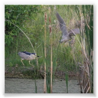 Adult and Juvenile Black-Crowned Night-Heron Posters