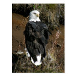Adult Bald Eagle on Ballyhoo Mountain Postcards