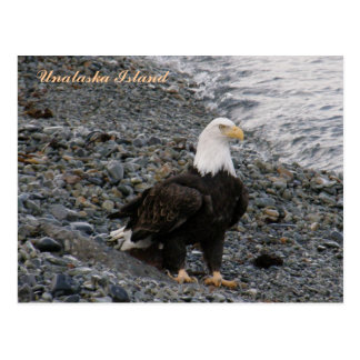 Adult Bald Eagle on the Beach, Unalaska Island Postcard