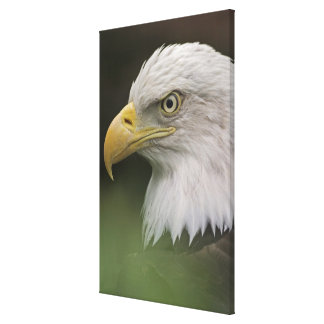 Adult Bald Eagle Portrait, Haliaeetus Canvas Print