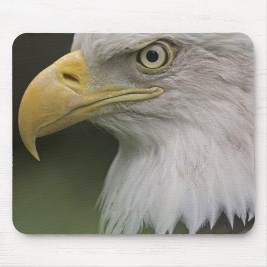 Adult Bald Eagle Portrait, Haliaeetus Mouse Pad
