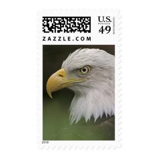 Adult Bald Eagle Portrait Haliaeetus Postage