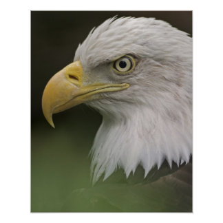 Adult Bald Eagle Portrait, Haliaeetus Poster