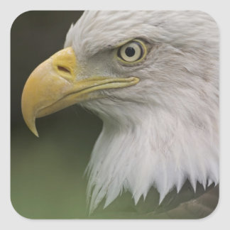 Adult Bald Eagle Portrait, Haliaeetus Square Sticker