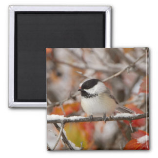 Adult Black-capped Chickadee in Snow, Grand 2 Inch Square Magnet