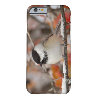 Adult Black-capped Chickadee in Snow, Grand Barely There iPhone 6 Case