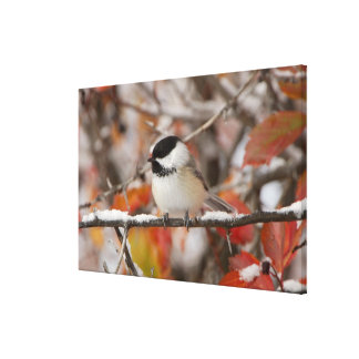 Adult Black-capped Chickadee in Snow, Grand Canvas Print