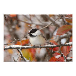 Adult Black-capped Chickadee in Snow, Grand Photo Print