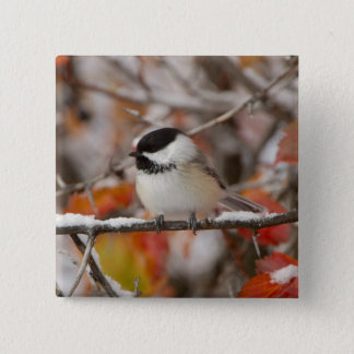 Adult Black-capped Chickadee in Snow, Grand Pinback Button