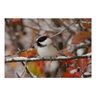 Adult Black-capped Chickadee in Snow, Grand Poster