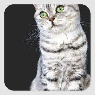 Adult british short hair cat on black background square sticker