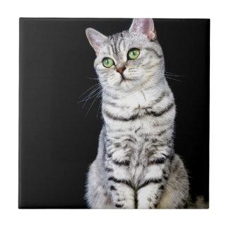 Adult british short hair cat on black background tile
