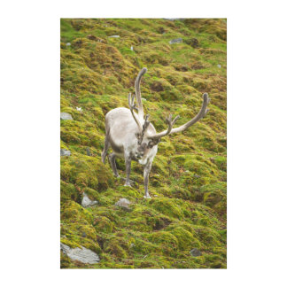 Adult buck forages on the tundra stretched canvas prints