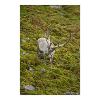 Adult buck forages on the tundra poster