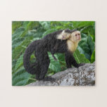 "Adult Capuchin Monkey Carrying Baby On Its Back Jigsaw Puzzle<br><div class=""desc"">An adult white-faced capauchin monkey in Costa Rica carrying a baby on it&#39;s back. &#169; and &#174; Bigstock&#174; - All Rights Reserved.</div>"