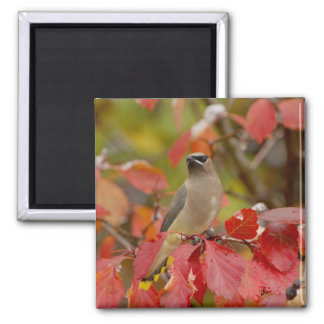 Adult Cedar Waxwing on hawthorn with snow, 2 2 Inch Square Magnet