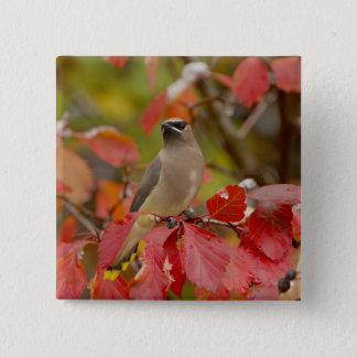 Adult Cedar Waxwing on hawthorn with snow, 2 Button