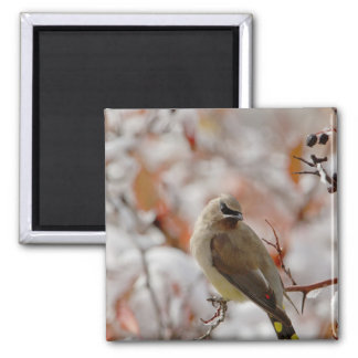 Adult Cedar Waxwing on hawthorn with snow, 2 Inch Square Magnet