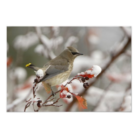 Adult Cedar Waxwing on hawthorn with snow, 2 Photo Print