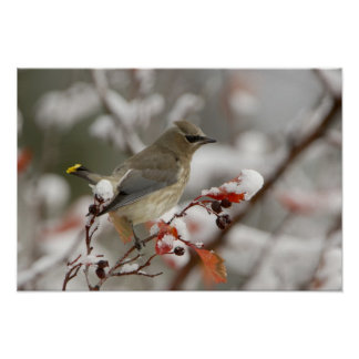 Adult Cedar Waxwing on hawthorn with snow, 2 Poster