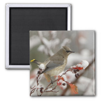 Adult Cedar Waxwing on hawthorn with snow, 3 2 Inch Square Magnet